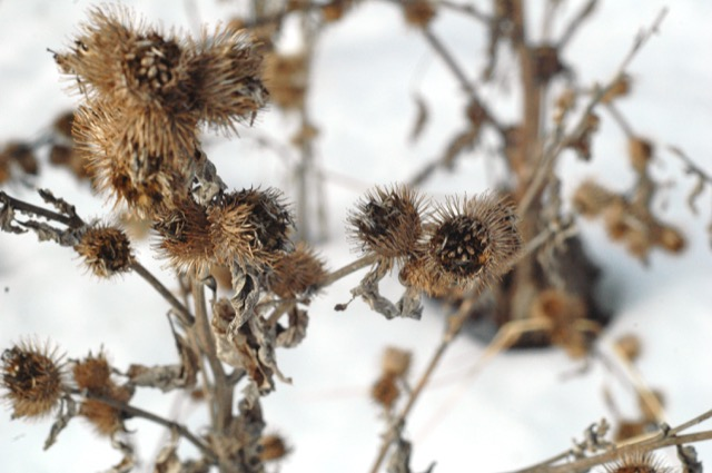Look for dried seed heads to ID