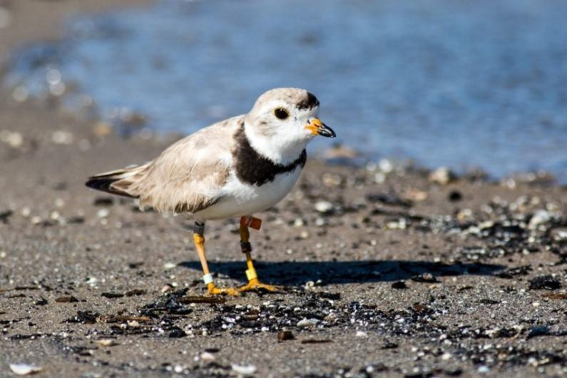 Piping Plover walks by the water