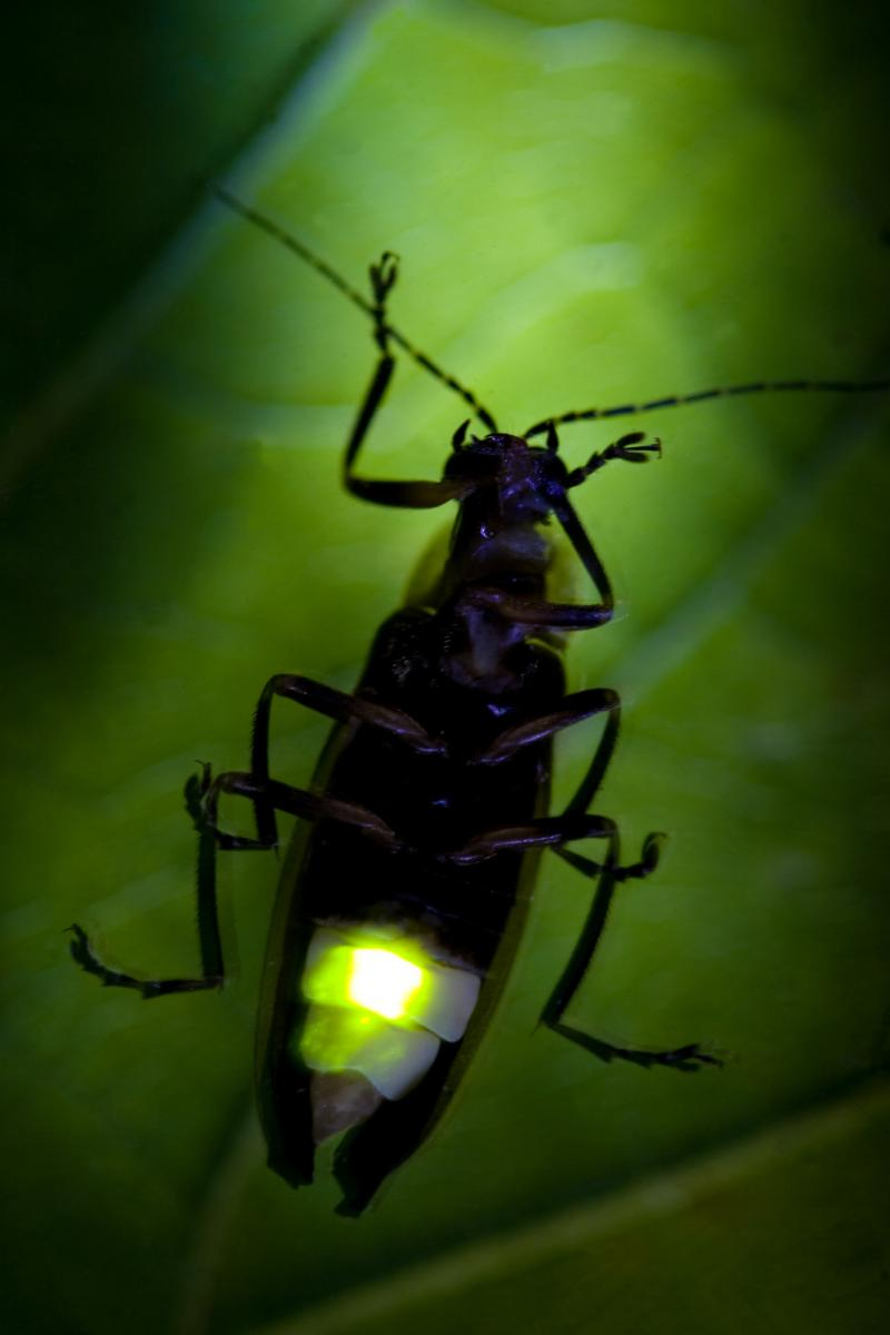 close-up of a firefly