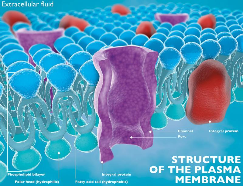 graphic of the structure of the plasma membrane of a cell