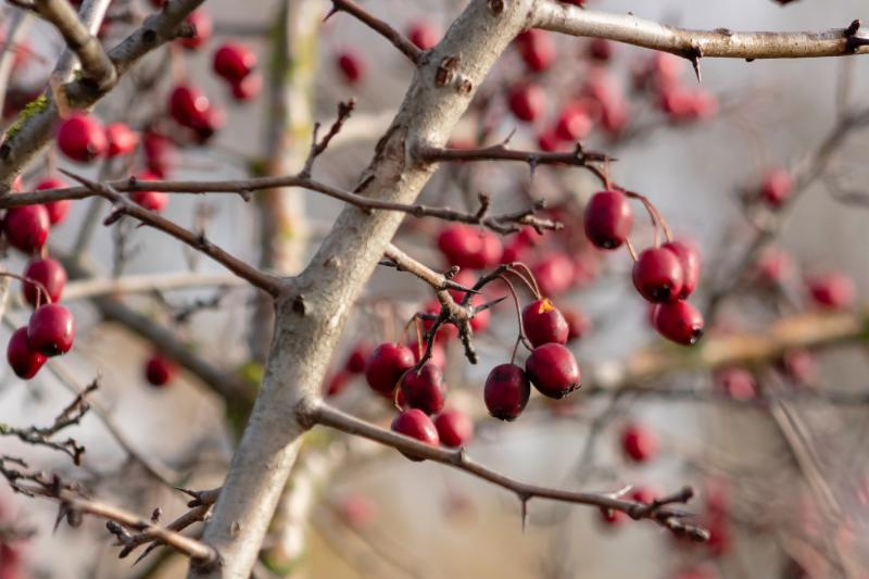 Red berries on a tree