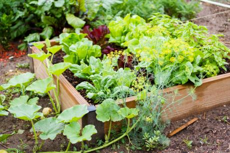 raised garden planter full of lettuce