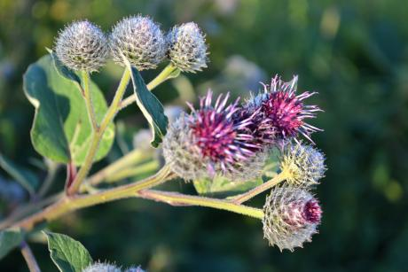 photo of Purple Burdock against the green background
