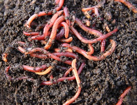 a pile of pink earthworms